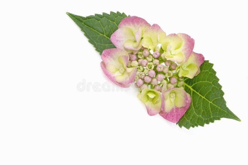 Hydrangea photographie stock libre de droits