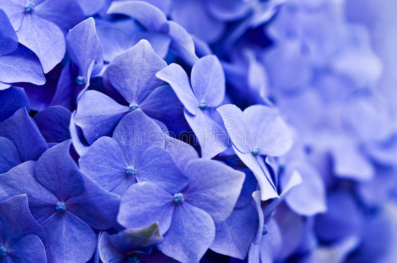 Download Hydrangea stock image. Image of leaf, closeup, petal - 15029869