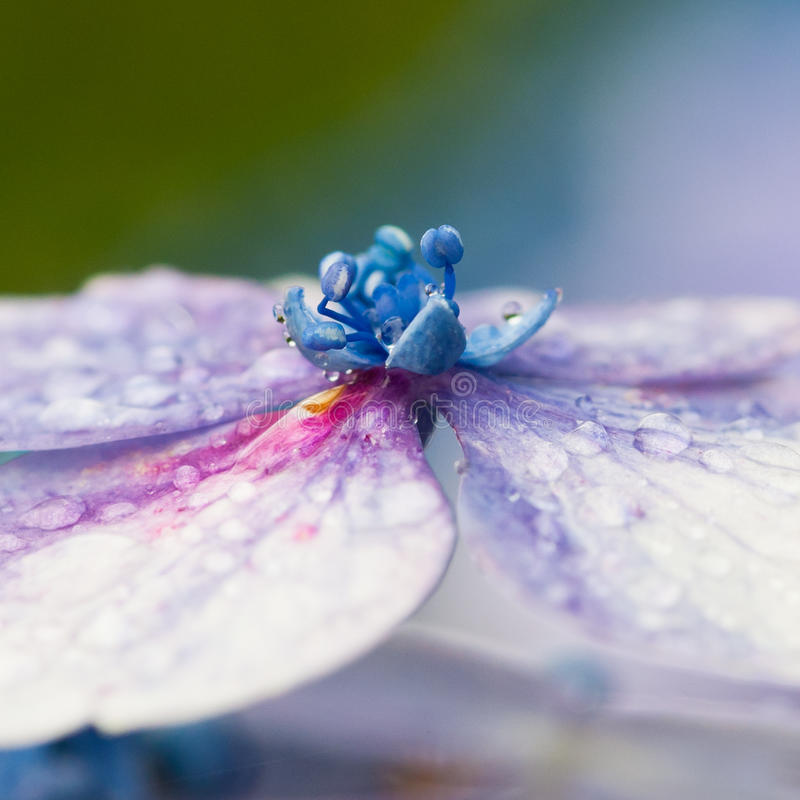 Hydrangea. A macro shot of the central details of a hydrangea flower royalty free stock image