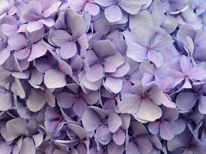 Download Hydrangea photo stock. Image du hydrangea, jardin, fleurs - 45357600