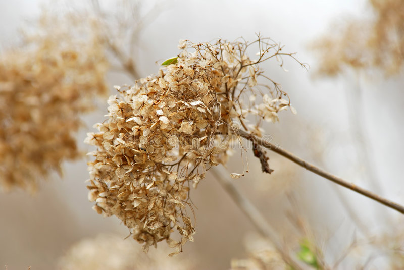 hydrangea στοκ φωτογραφία