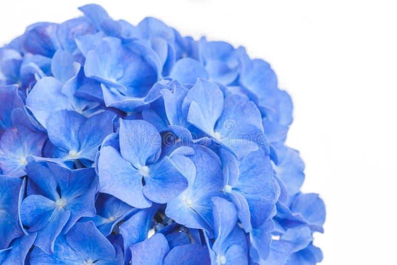 hydrangea στοκ φωτογραφίες με δικαίωμα ελεύθερης χρήσης