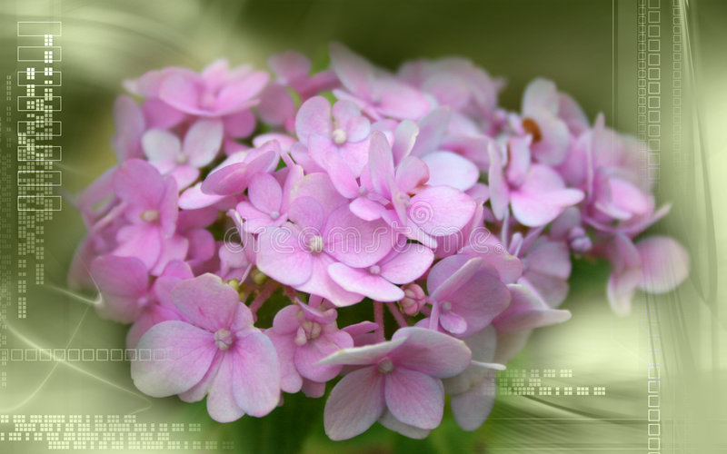 hydrangea διανυσματική απεικόνιση