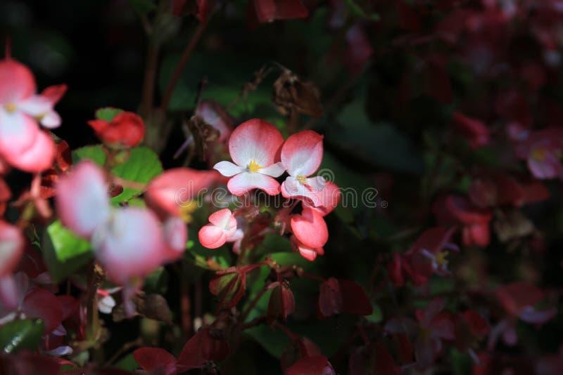 hydrangea fotografia stock libera da diritti