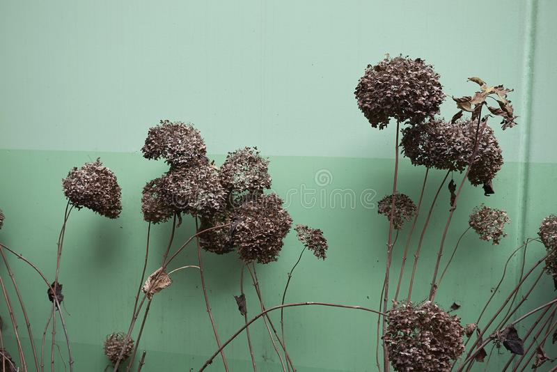 Hydrangea arborescens with dried flowers royalty free stock photos