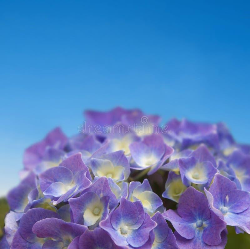 Hydrangea auf blauem Himmel stockfotografie