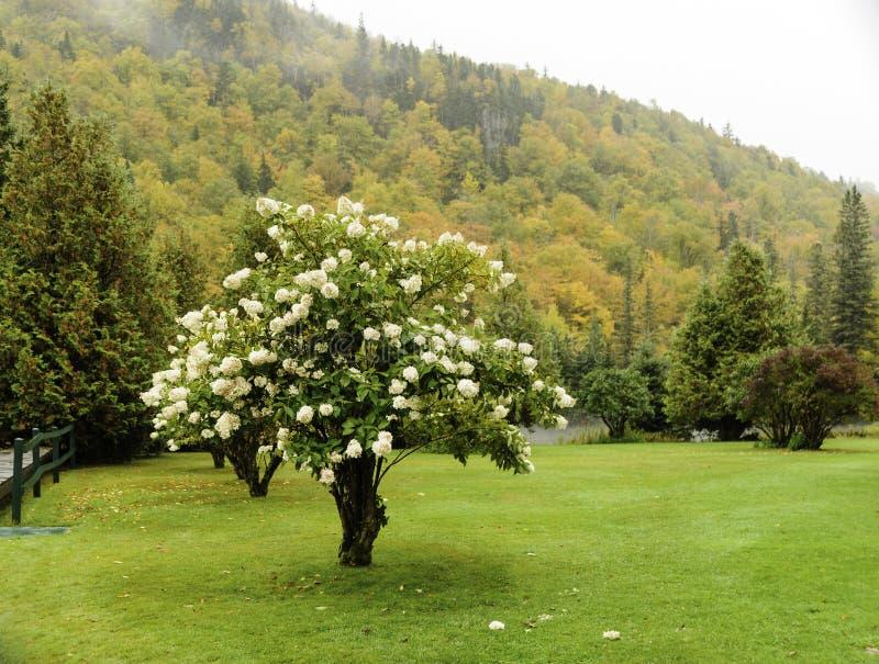 Hydrangea autumn New Hampshire stock photography