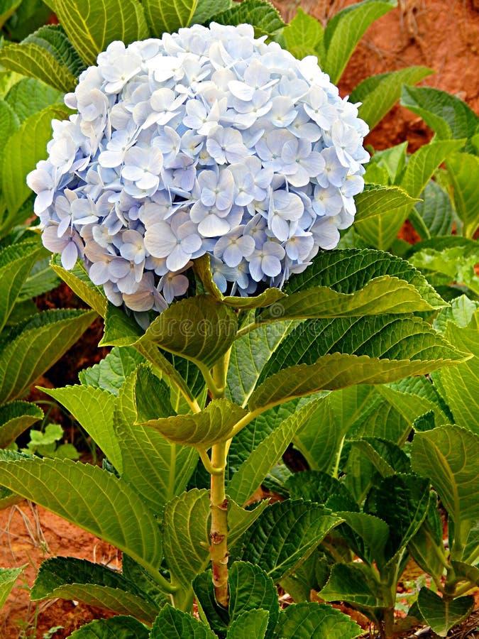 Hydrangea azul imagens de stock royalty free