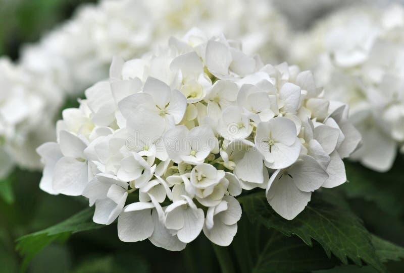 Hydrangea blanc (Hortensia) photo libre de droits