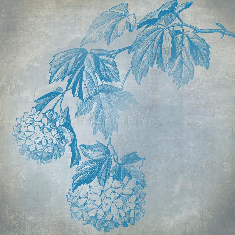 Hydrangea bleu illustration libre de droits