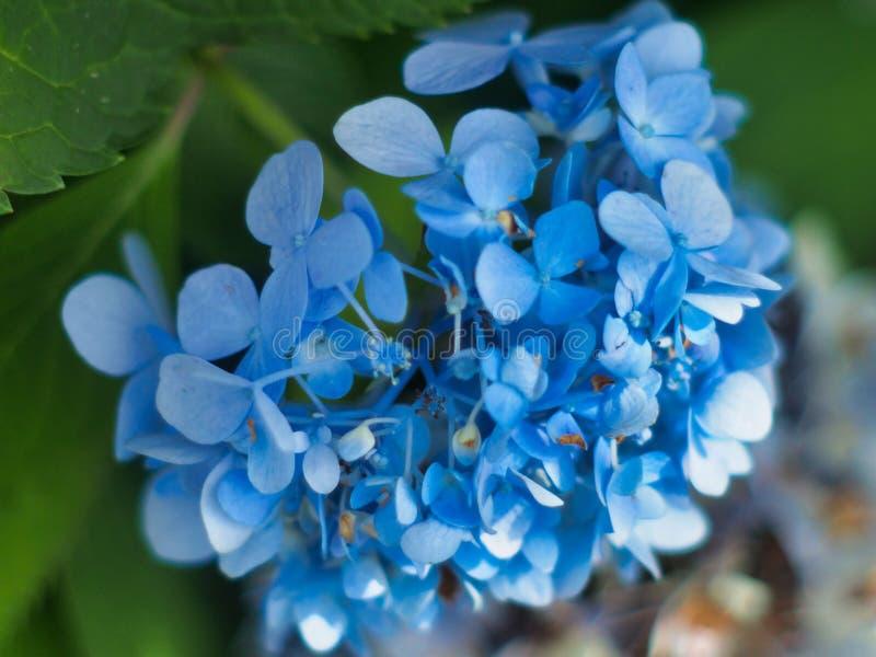 Hydrangea Bloom Azul Fechar fotos de stock