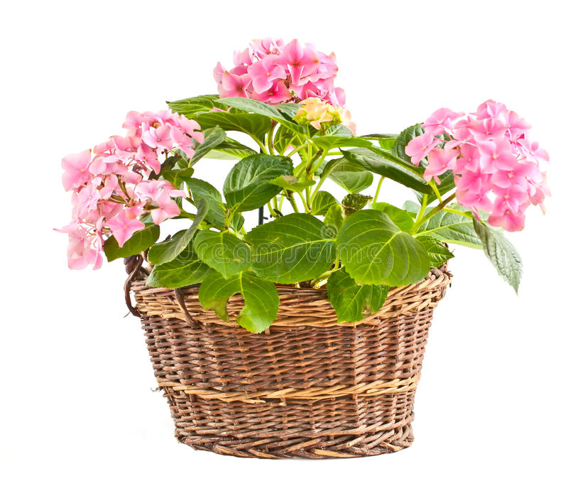 Hydrangea in a braided basket. stock images