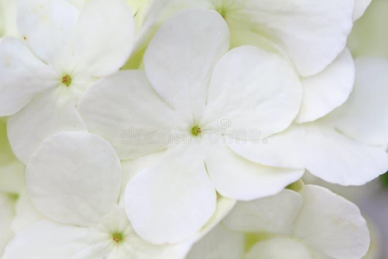 Hydrangea branco fotos de stock royalty free
