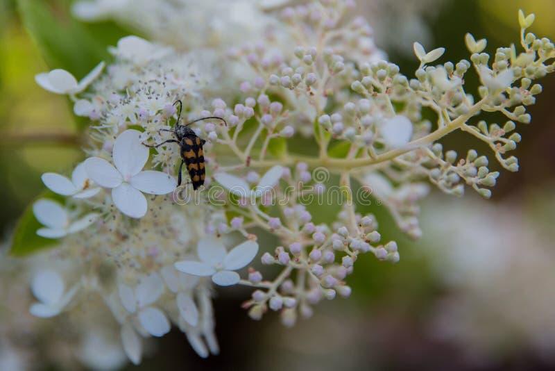 Hydrangea. Bug on the white hydrangea royalty free stock photos