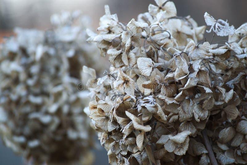 Hydrangea bush at winter royalty free stock photos
