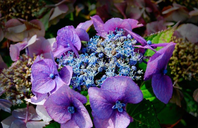 Hydrangea Close Up Vivid Purple Blue Blossom stock images