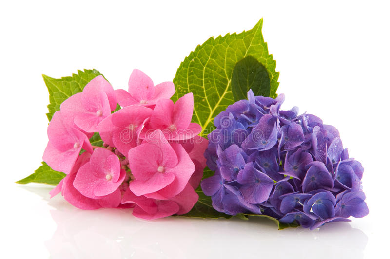 Hydrangea cor-de-rosa e azul fotografia de stock