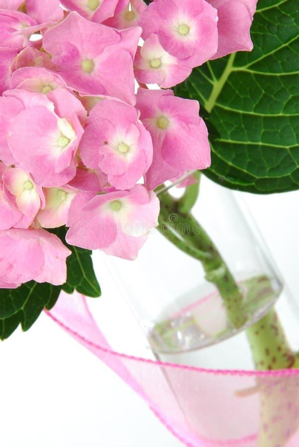 Hydrangea de Lacecap image stock
