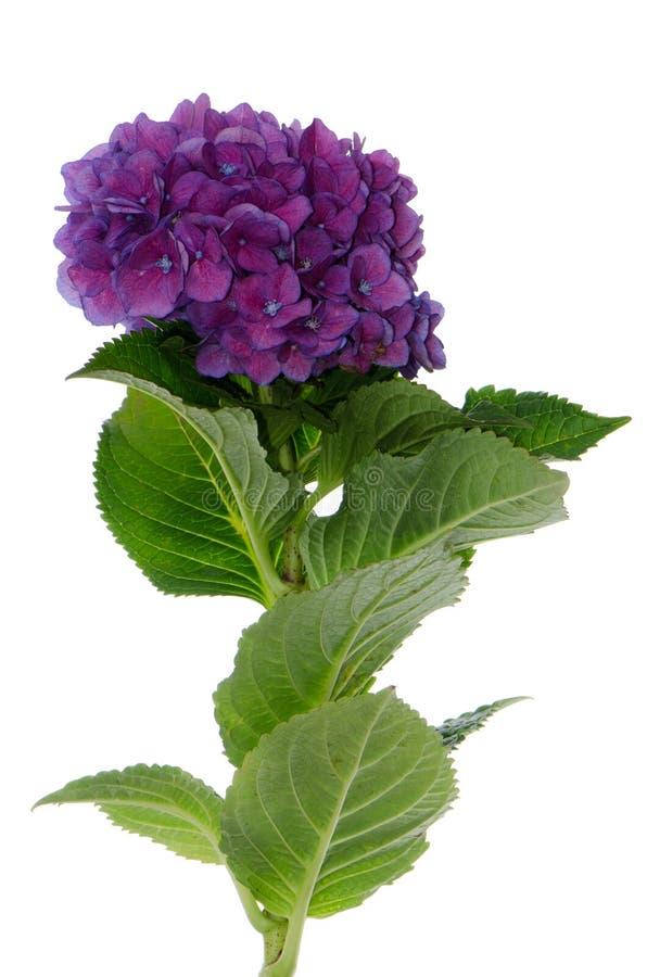 Hydrangea de Lacecap (normalis de macrophylla) photos stock