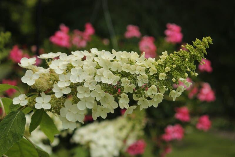 Hydrangea di Oakleaf fotografia stock libera da diritti