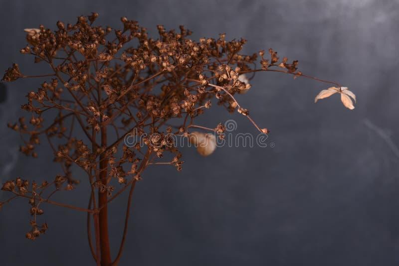 Hydrangea dried flowers stock photo