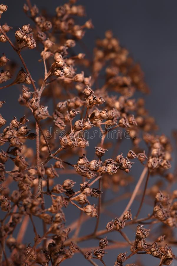 Hydrangea dried flowers royalty free stock photography