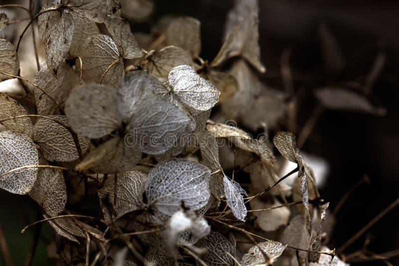 Hydrangea. Dried flowers. royalty free stock photo