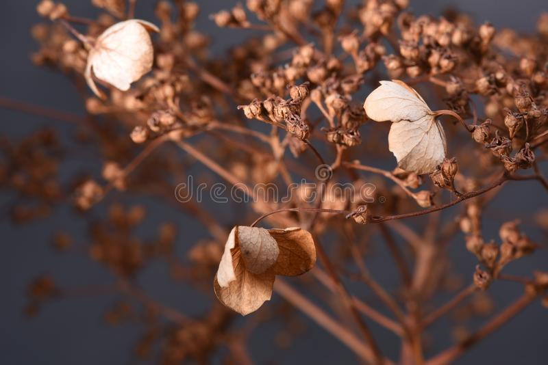 Hydrangea dried flowers royalty free stock photo