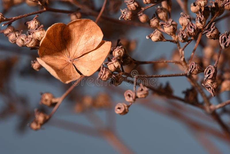 Hydrangea dried flowers royalty free stock images