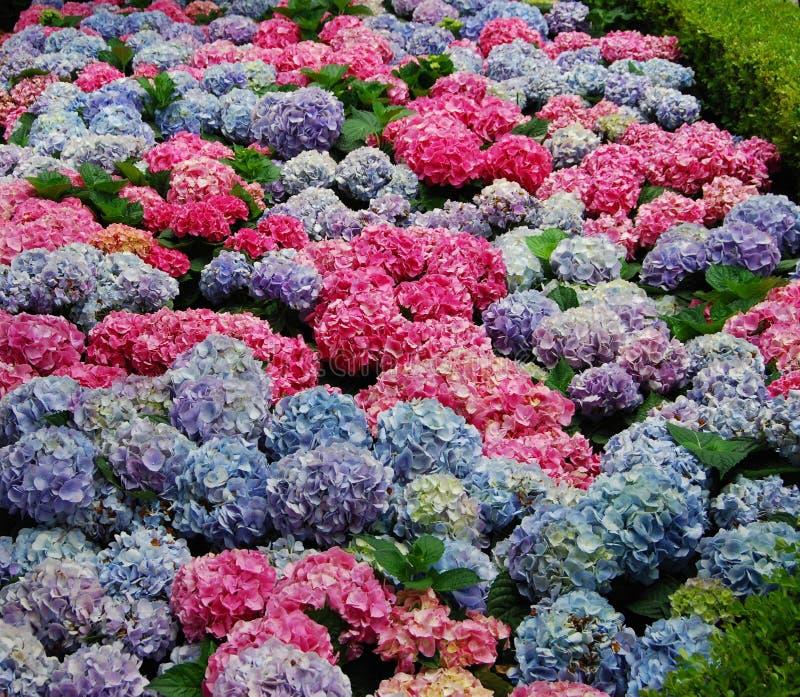 Hydrangea em multi cores foto de stock royalty free