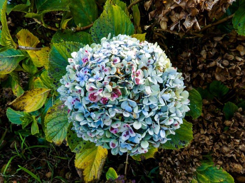 Hydrangea flower-head royalty free stock image