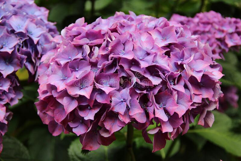 Hydrangea Flower In Macro Stock Photo Image Of Garden 179281600