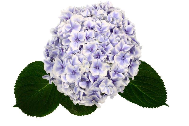 Hydrangea flower on white background. royalty free stock photos