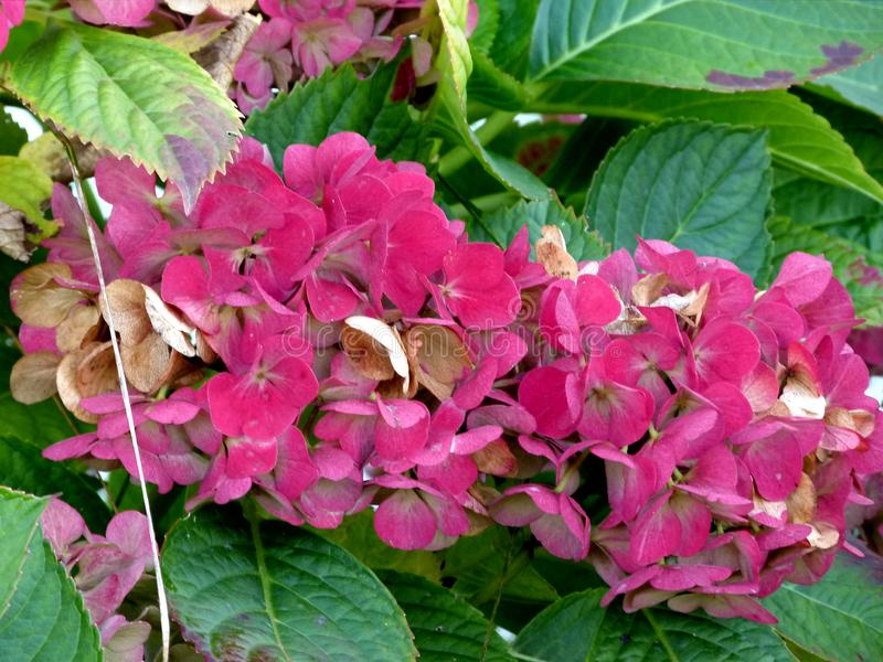 Withering red hydrangea surrounded by green leaves 1 royalty free stock images