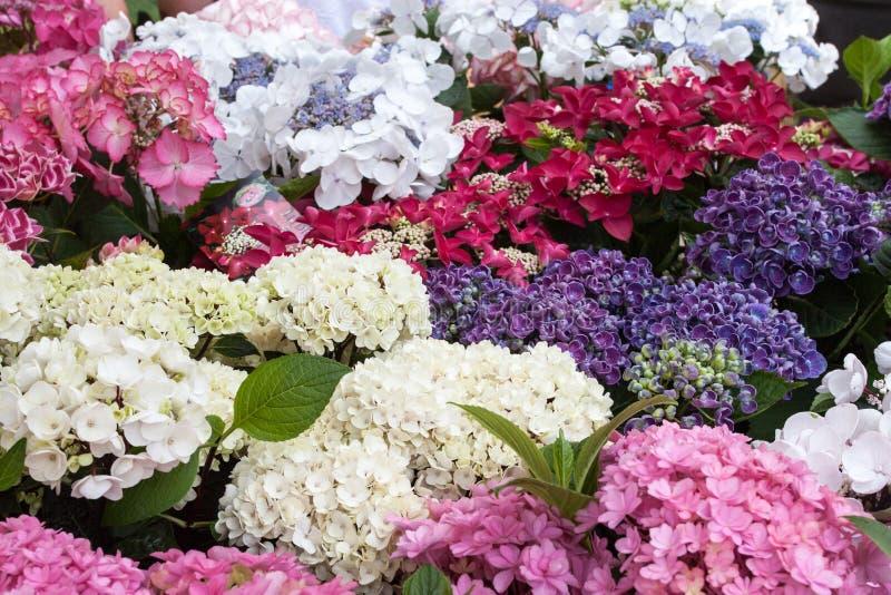 Hydrangea flowers background stock photos
