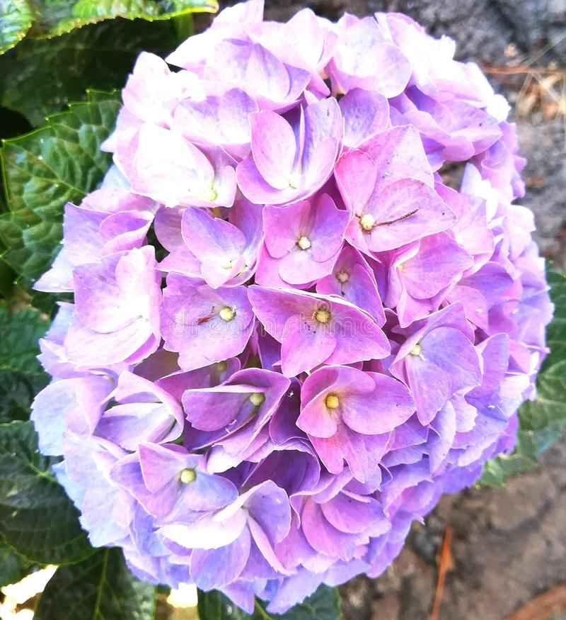 Hydrangea flowers blooming in summer garden in sunny day. Beautiful purple, pink, blue flowers. Outdoor blossom closeup stock photo