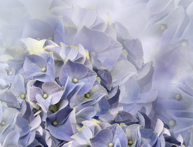 Hydrangea flowers. blue background. floral collage. flower composition. Close-up. stock photography