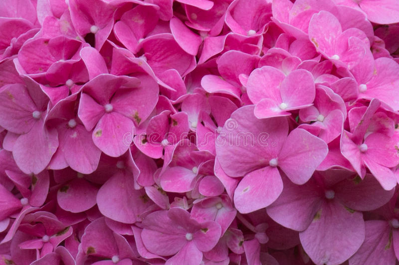 Hydrangea flowers close up. Pink flowers. Garden plants. royalty free stock photography