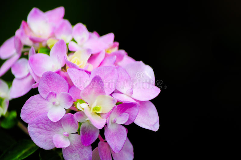 Hydrangea flowers royalty free stock images