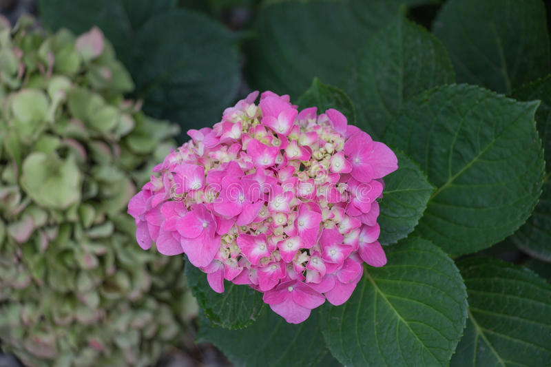 Hydrangea flowers. Pink flowers. Garden plants. royalty free stock images