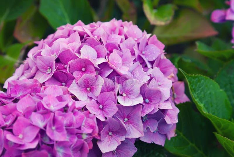 Hydrangea flowers royalty free stock photography