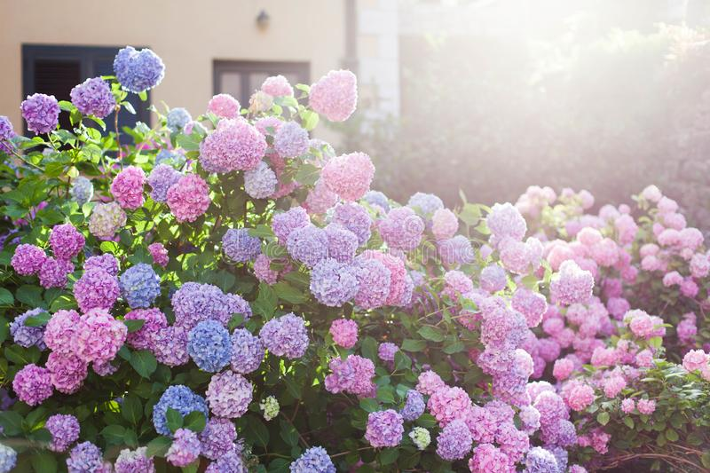 Hydrangea garden by house at sunset. Bushes is pink, blue, lilac, purple. Flowers are blooming. Hydrangea garden by house at sunset. Bushes is pink, blue, lilac royalty free stock photos
