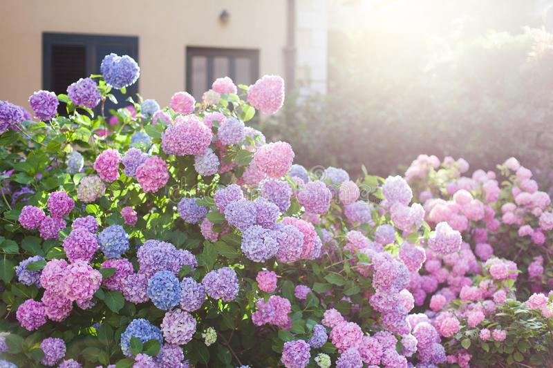 Hydrangea garden by house at sunset. Bushes is pink, blue, lilac, purple. Flowers are blooming in street in spring and summer outdoor stock photos