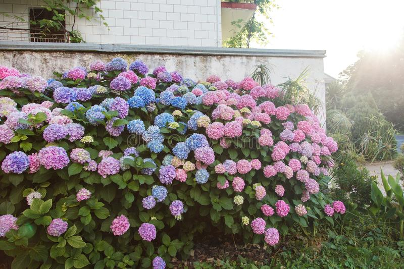 Hydrangea garden by house at sunset. Bushes is pink, blue, lilac, purple. Flowers hedge is blooming in countryside. And town streets in spring and summer royalty free stock images