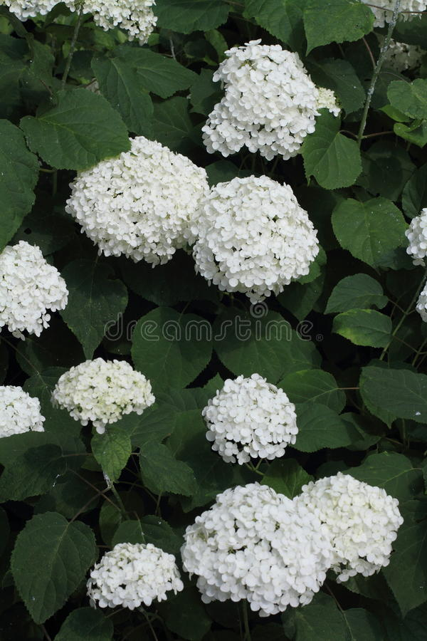 Hydrangea at Hase temple. Kamakura, Japan royalty free stock photos