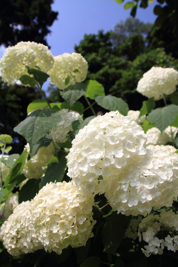Hydrangea at Hase temple. Kamakura, Japan stock photo