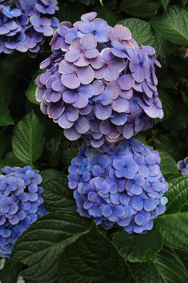 Hydrangea at Hase temple. Kamakura, Japan royalty free stock photography