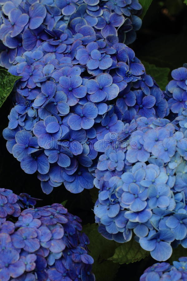 Hydrangea at Hase temple. Kamakura, Japan royalty free stock photo