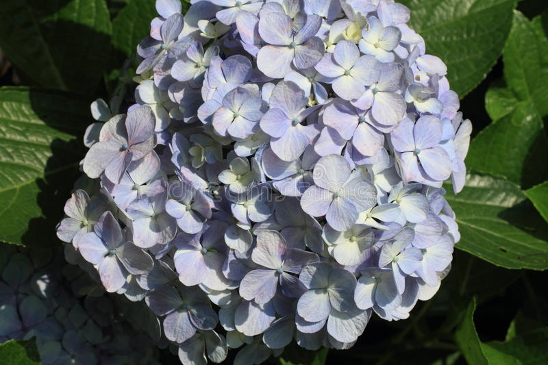 Hydrangea at Hase temple. Kamakura, Japan stock photos