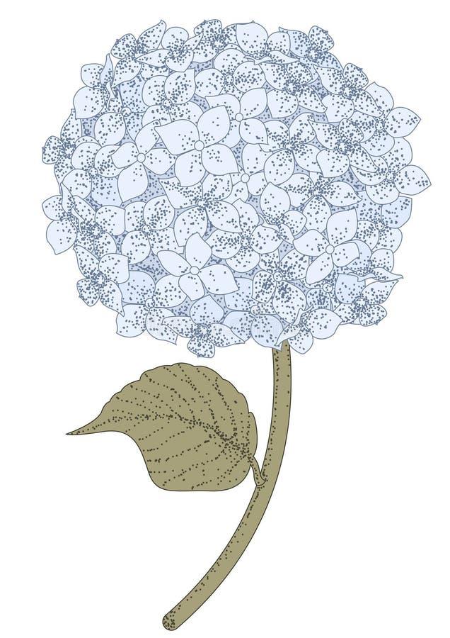 Hydrangea hortensia vector illustratie
